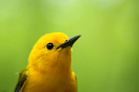 Jewel of the Swamp - Prothonotary Warbler