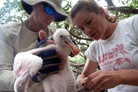 Spoonbill banding on Sandy Key with Audubon scientists