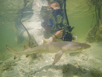 Photographing juvenile lemon sharks